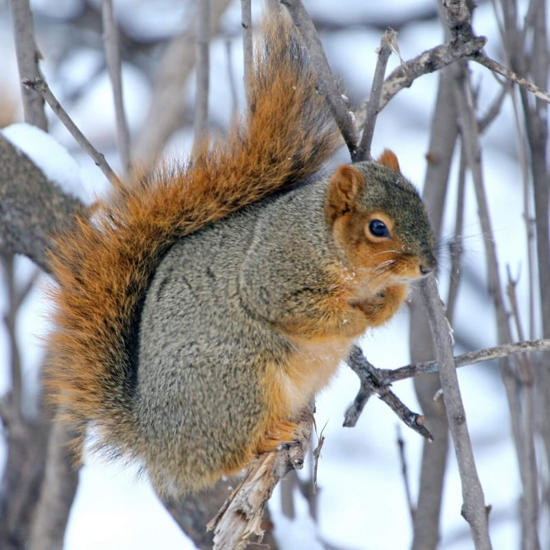 Fox Squirrel 14539535789