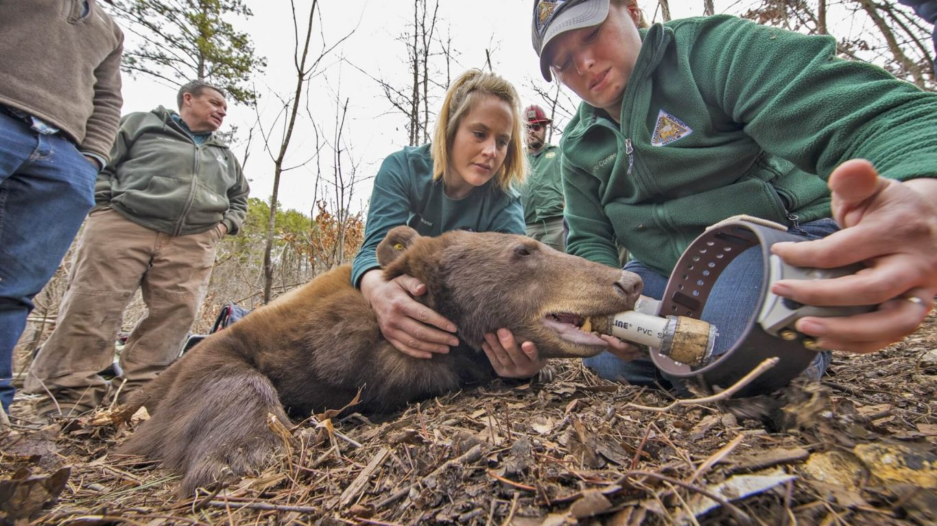 Missouri Bears with Wildlife Biologist Laura Conlee