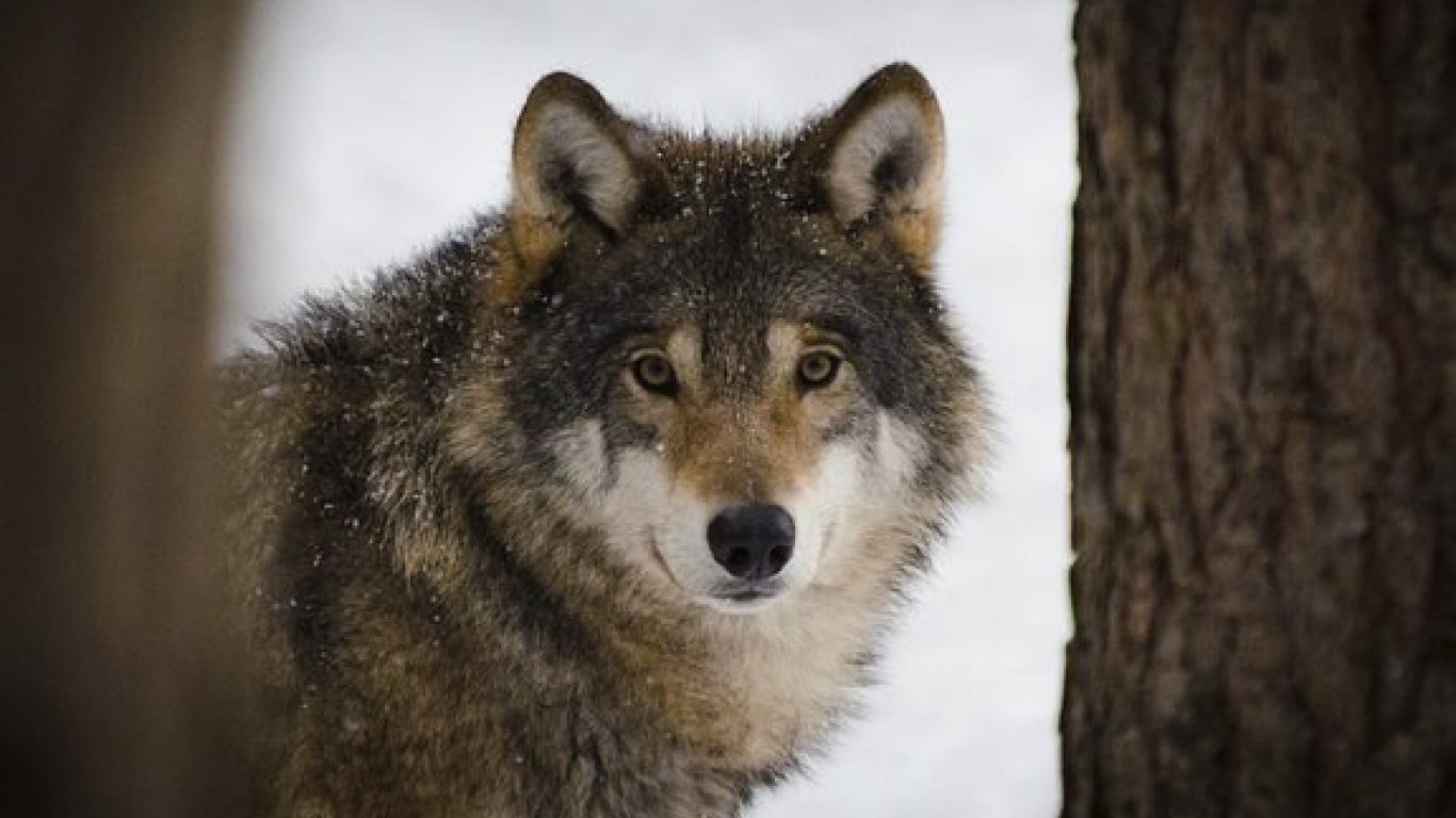 Wolf Reintroduction to Colorado with Jon Keehner, PhD