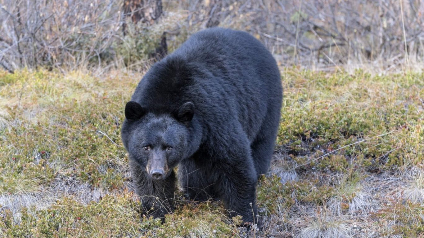 Stalking Bears & Bear Attacks with Primitive Outfitting