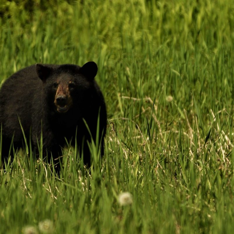 Missouri Black Bear Talk